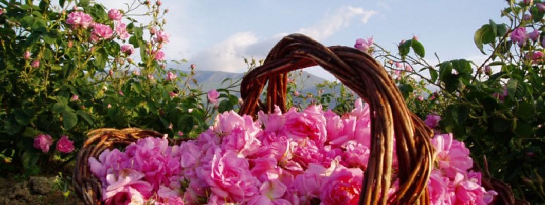Розата – царицата на българската козметика